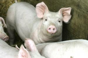 Controversial pig farm plans refused by planners