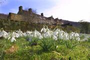 Snowdrops at Mount Grace Priory, near Osmotherley
