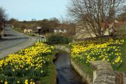 Daffodils by a beck in Helmsley – Picture: Doug Jackson