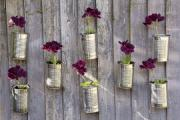 Growing geraniums in tins