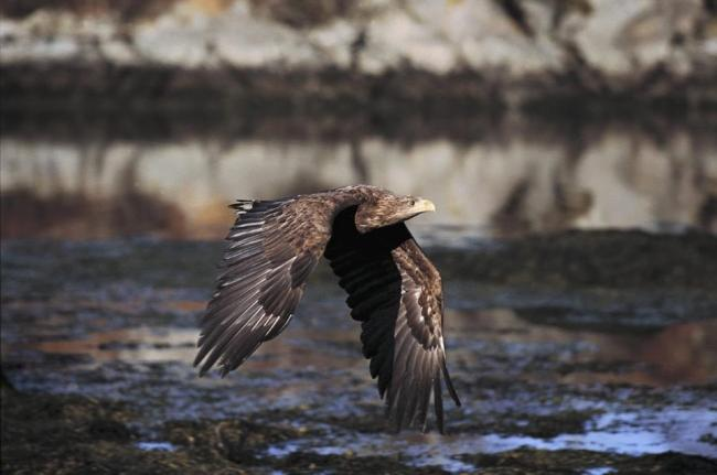 A white-tailed eagle Haliaeetus albicilla. Scotland`s sea eagle population has enjoyed a record-breaking year, conservationists said today. Picture: Ian McCarthy/RSPB/PA Wire