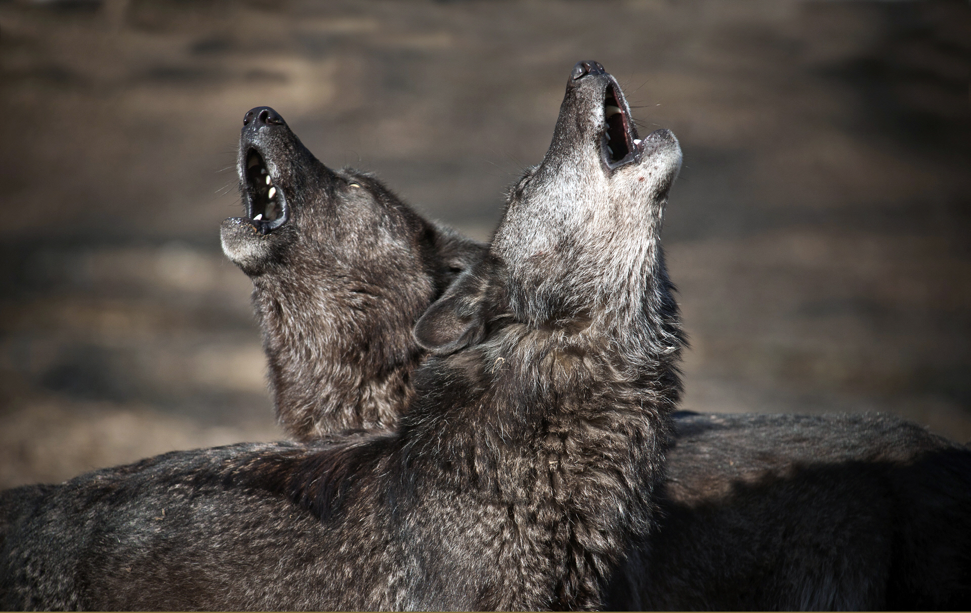 January used to be known as Wolfmonath - the month of the hungry wolf. Picture: CELL PRESS