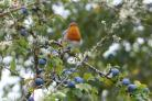 Robin red breast singing his heart out surrounded by autumnal berries. Picture: Karl Shaw