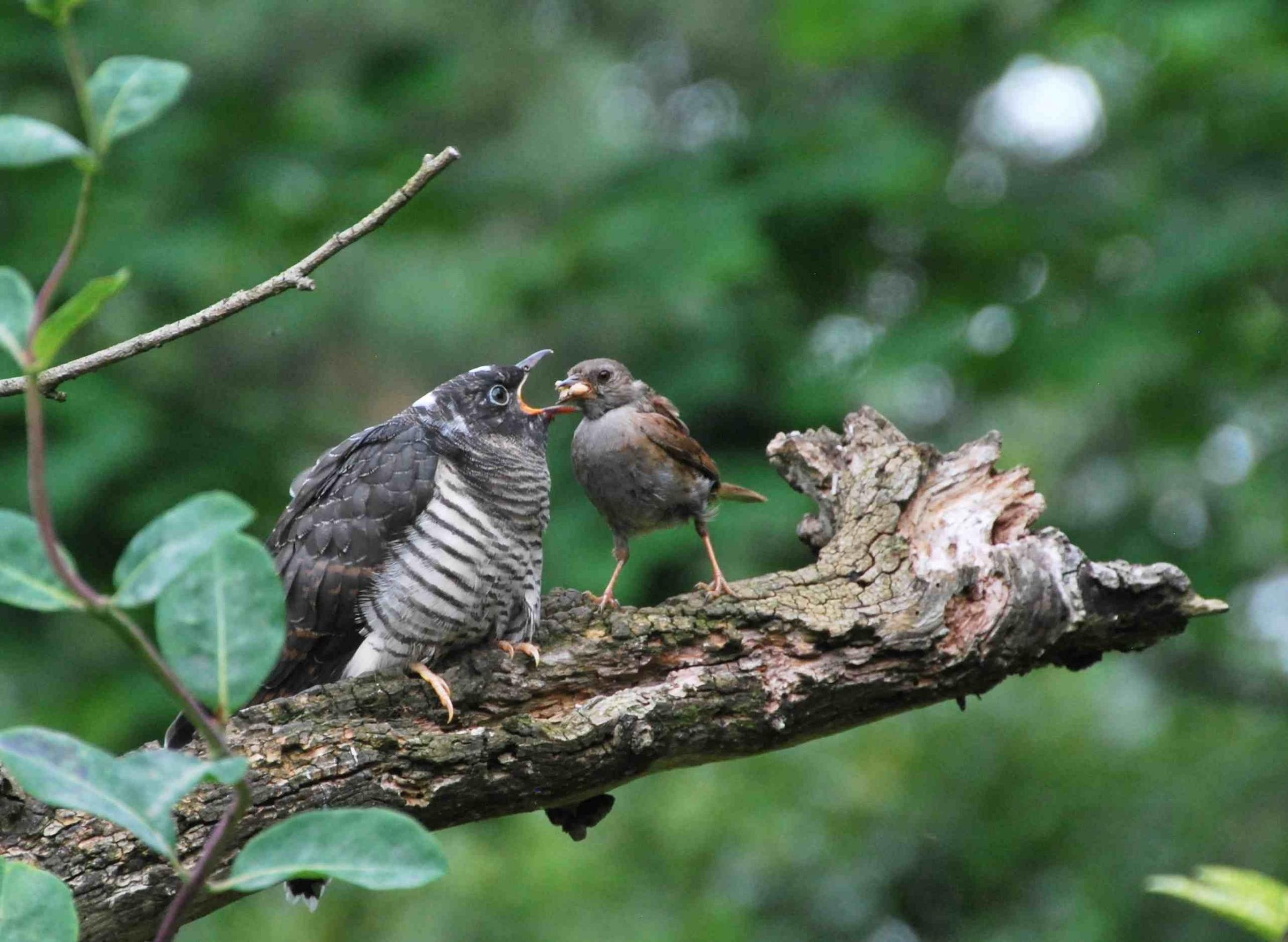 READERS' VIEW: Steve Weighell and his wife, Joan, got an amazing view for 20 minutes in early August of a young cuckoo being fed by its adoptive parent - a dunnock - just six yards from their window in Middleton St George, near Darlington.