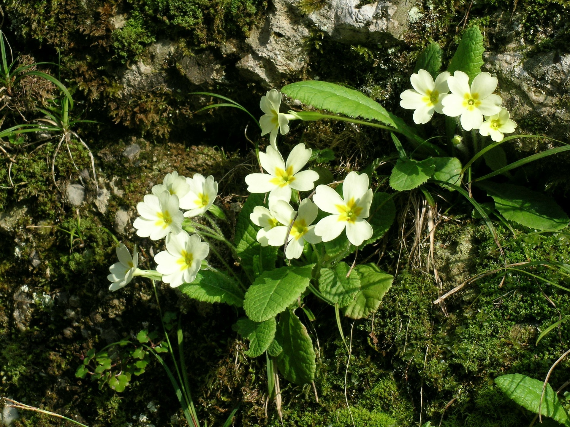 Primroses - there is much folklore surrounding these attractive spring flowers