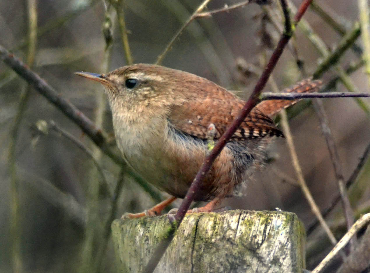 A wren – its nest is a miracle of construction