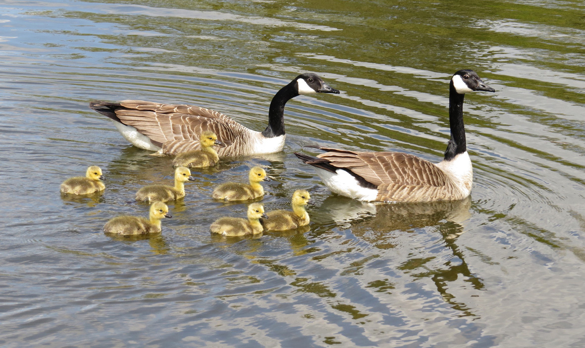 Pam Mosedale of Beechwood took this picture of Canada geese and their goslings on the mere in Tatton Park