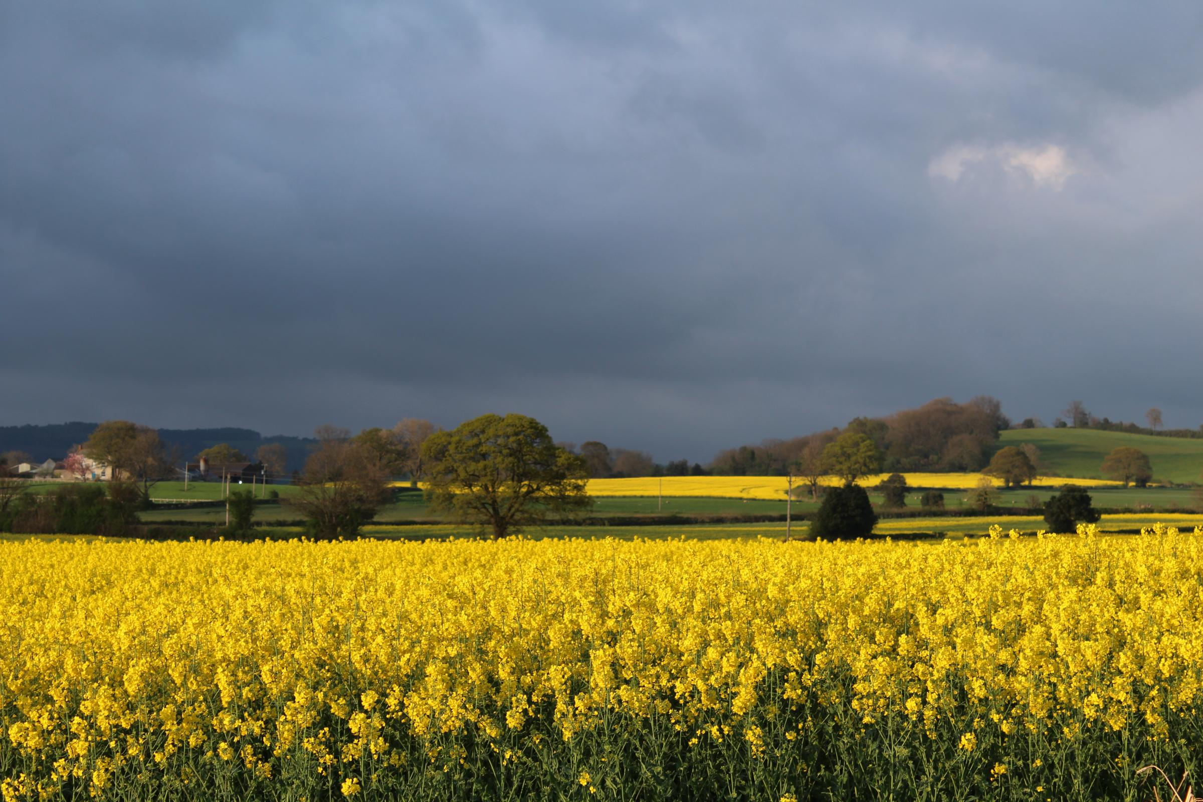 READER'S VIEW: Maxine Chaplain, of Sowerby, Thirsk, took this picture of rape fields near Coxwold