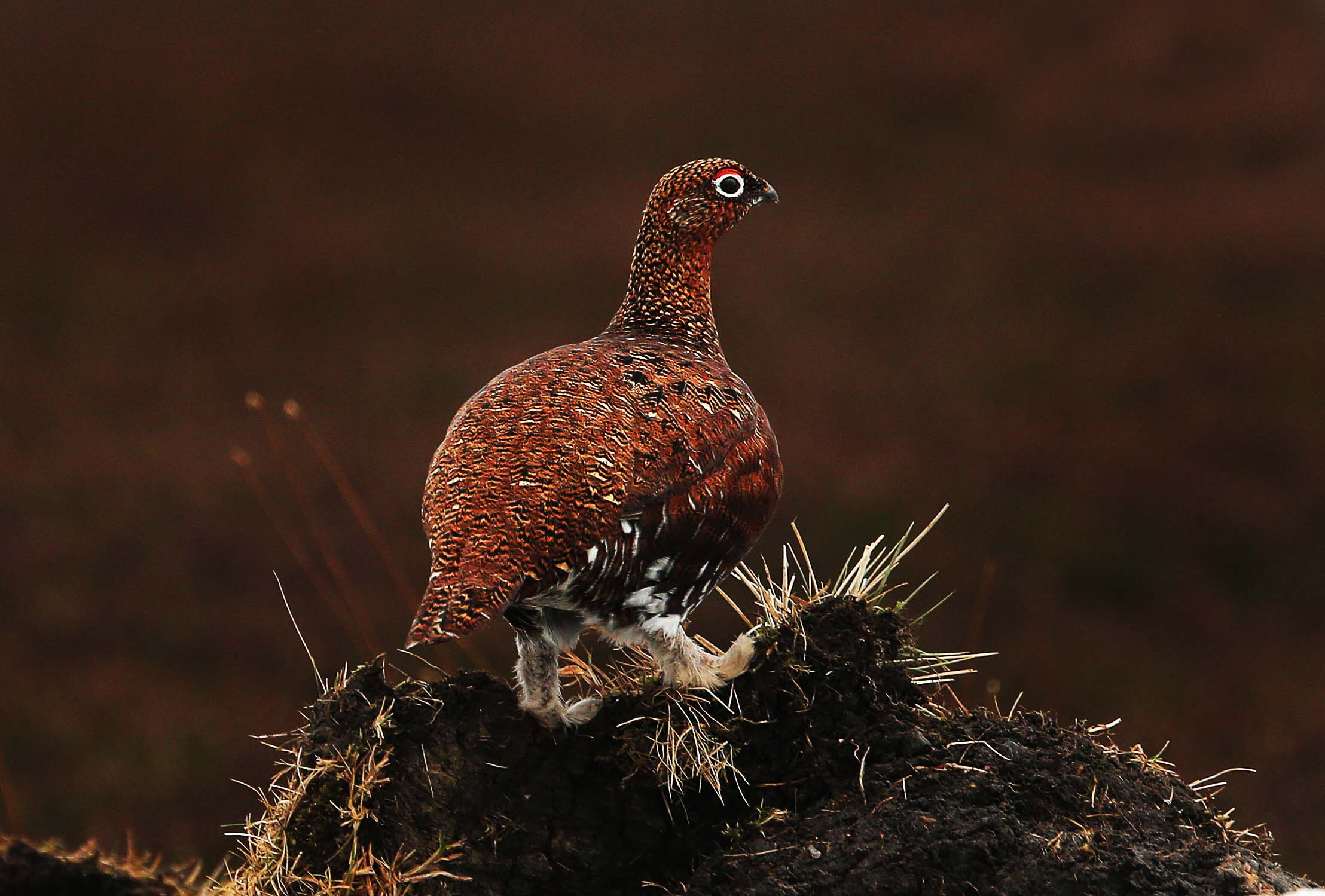The grouse shooting season started on August 12. Picture: Sarah Caledcott