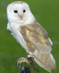 IN DECLINE: the barn owl, whose numbers have dwindled alarmingly in recent years