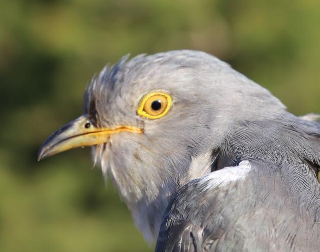 why the cuckoo has killed itself darlington and stockton times