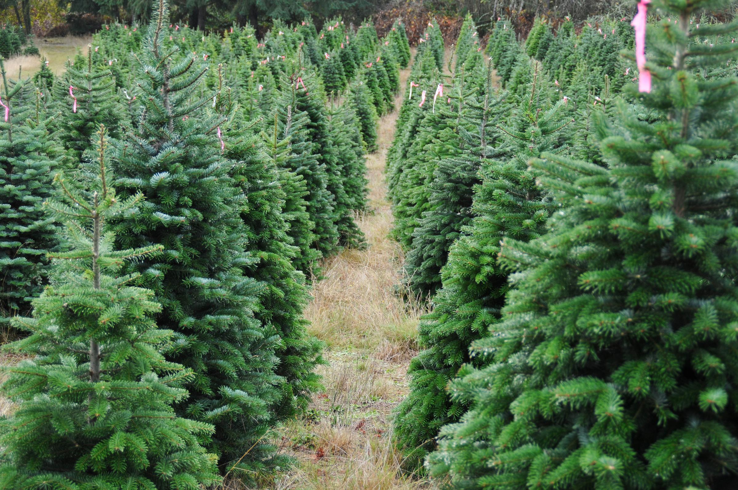 Middle of festive season is the best time to buy a tree (From ...