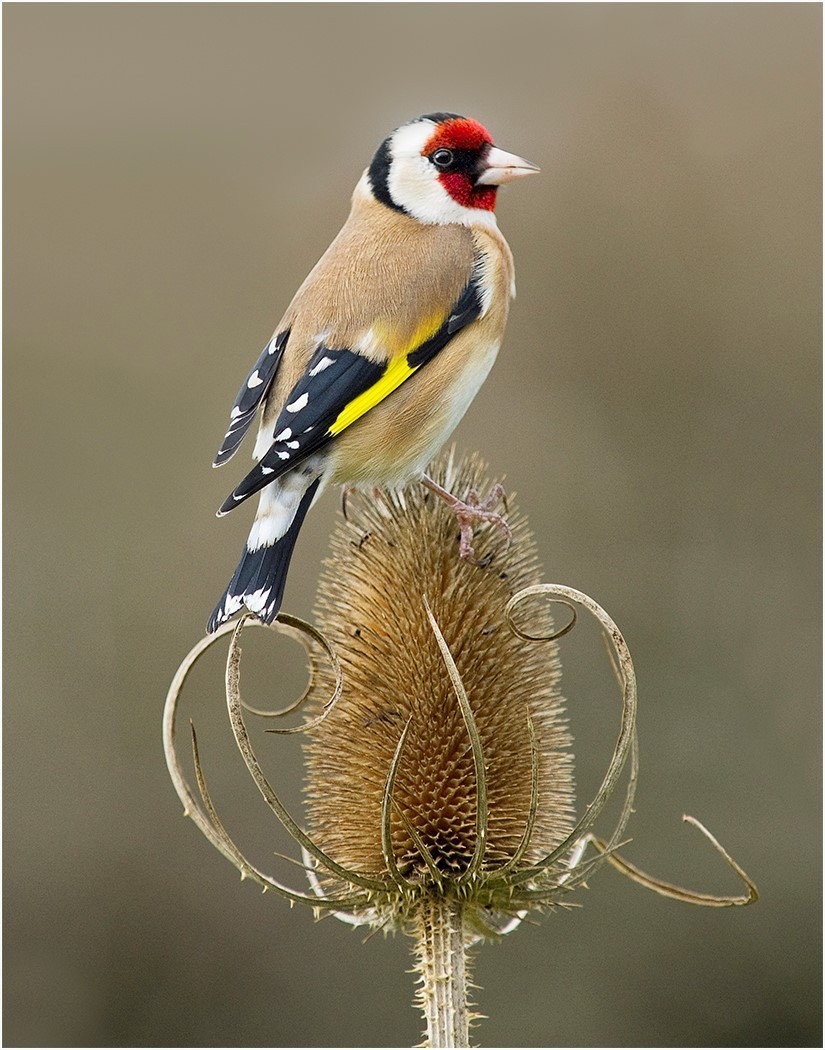 A goldfinch sits on a thistle
