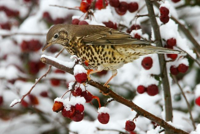Mistle Thrushes could visit your garden if you have berry bushes.