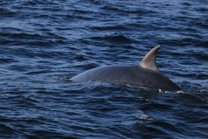 SPOTTED: Minke whales have been sighted in the North Sea