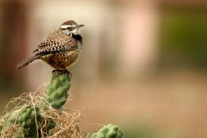 The wren – one of Britain's smallest birds but also one of our loudest singers