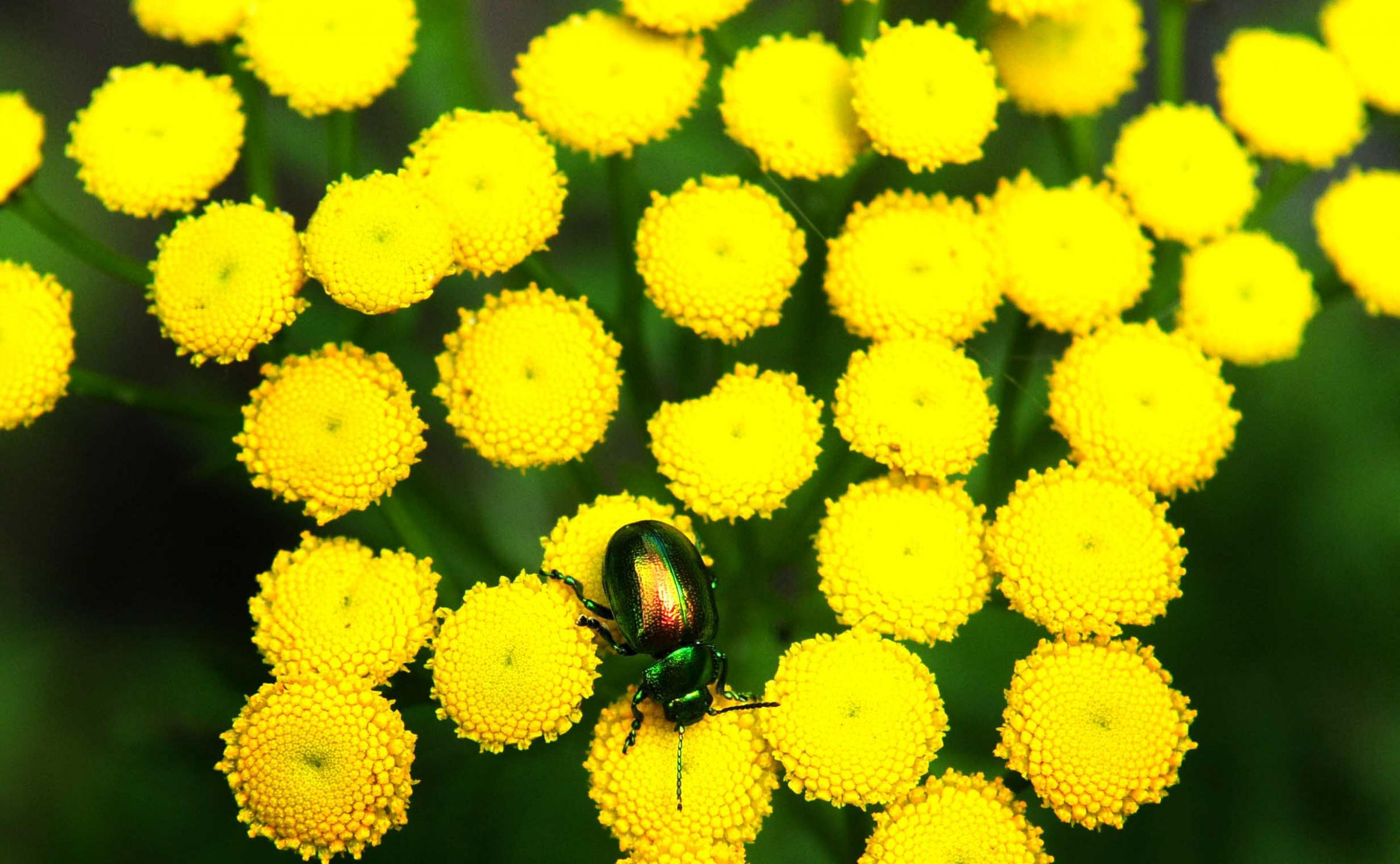 A tansy beetle in York Museum Gardens. The beetle was successfully reintroduced to a 30km stretch of the River Ouse around York, helped by staff at the gardens