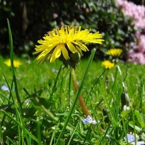 Darlington and Stockton Times: The dandelion - if you can't beat it, eat it