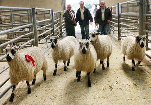 Good show for Masham lambs   Darlington and Stockton Times