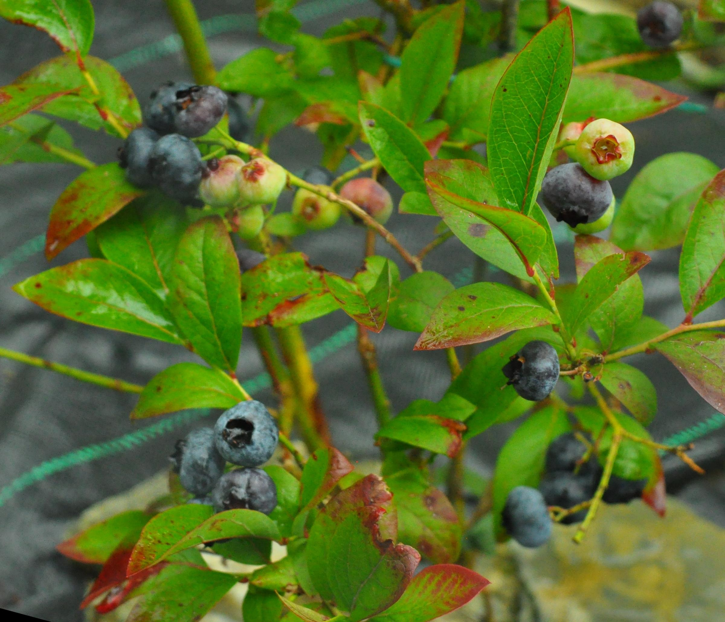 Country Life's expert guide to growing your own blueberries