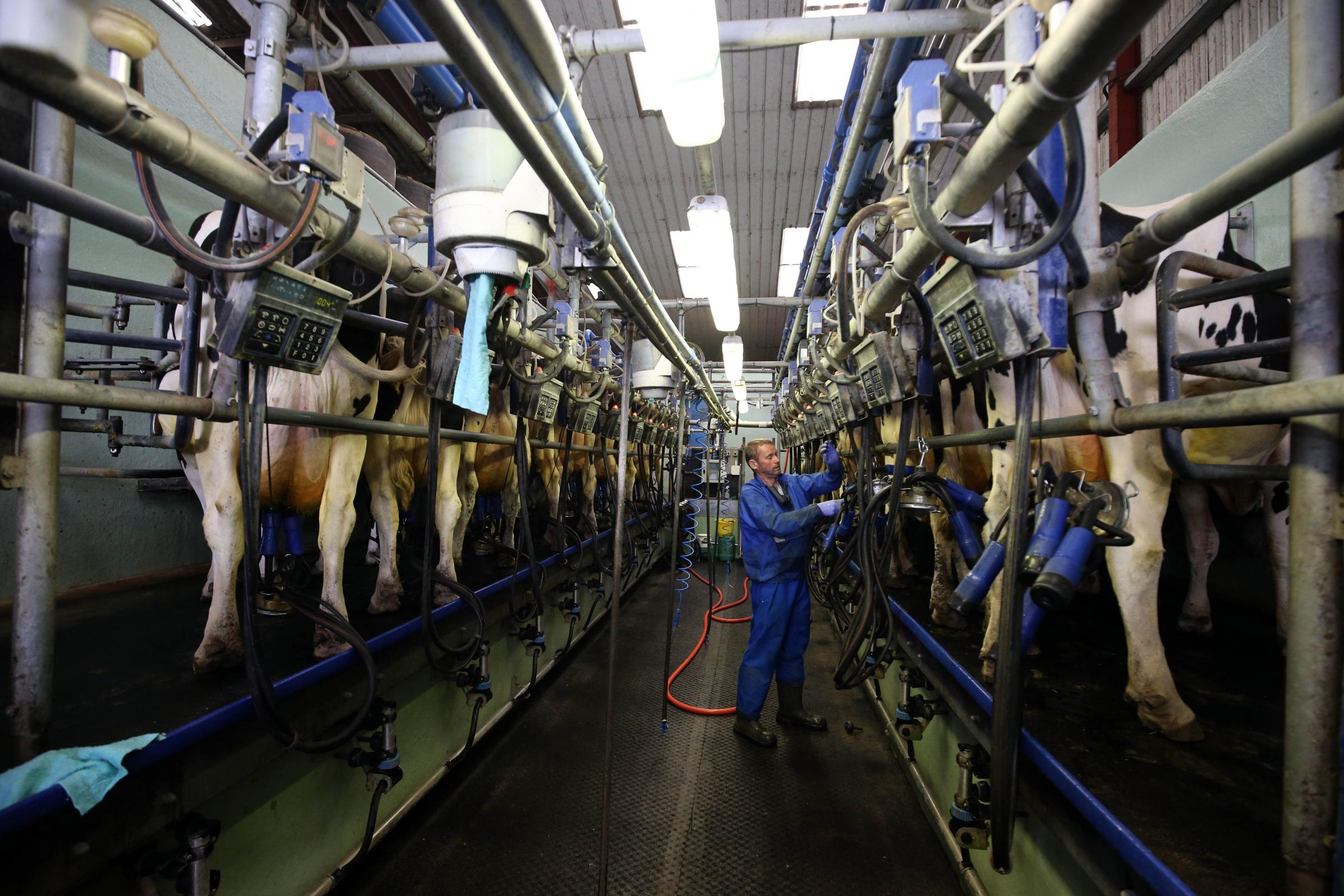 Farmer William Westacott milking cows