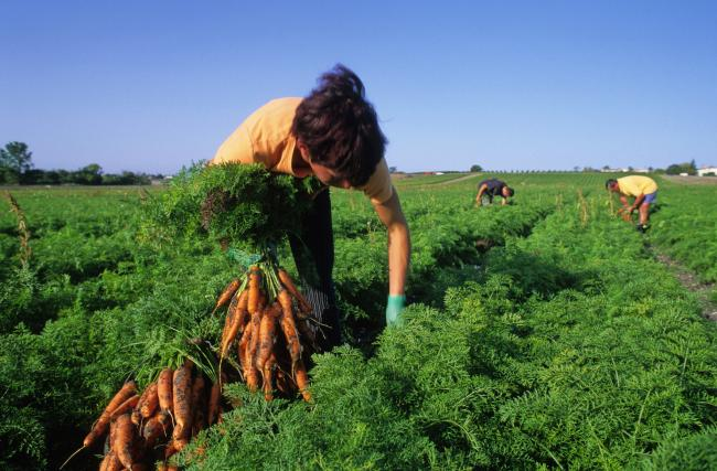 woman harvesting carrots in a field.