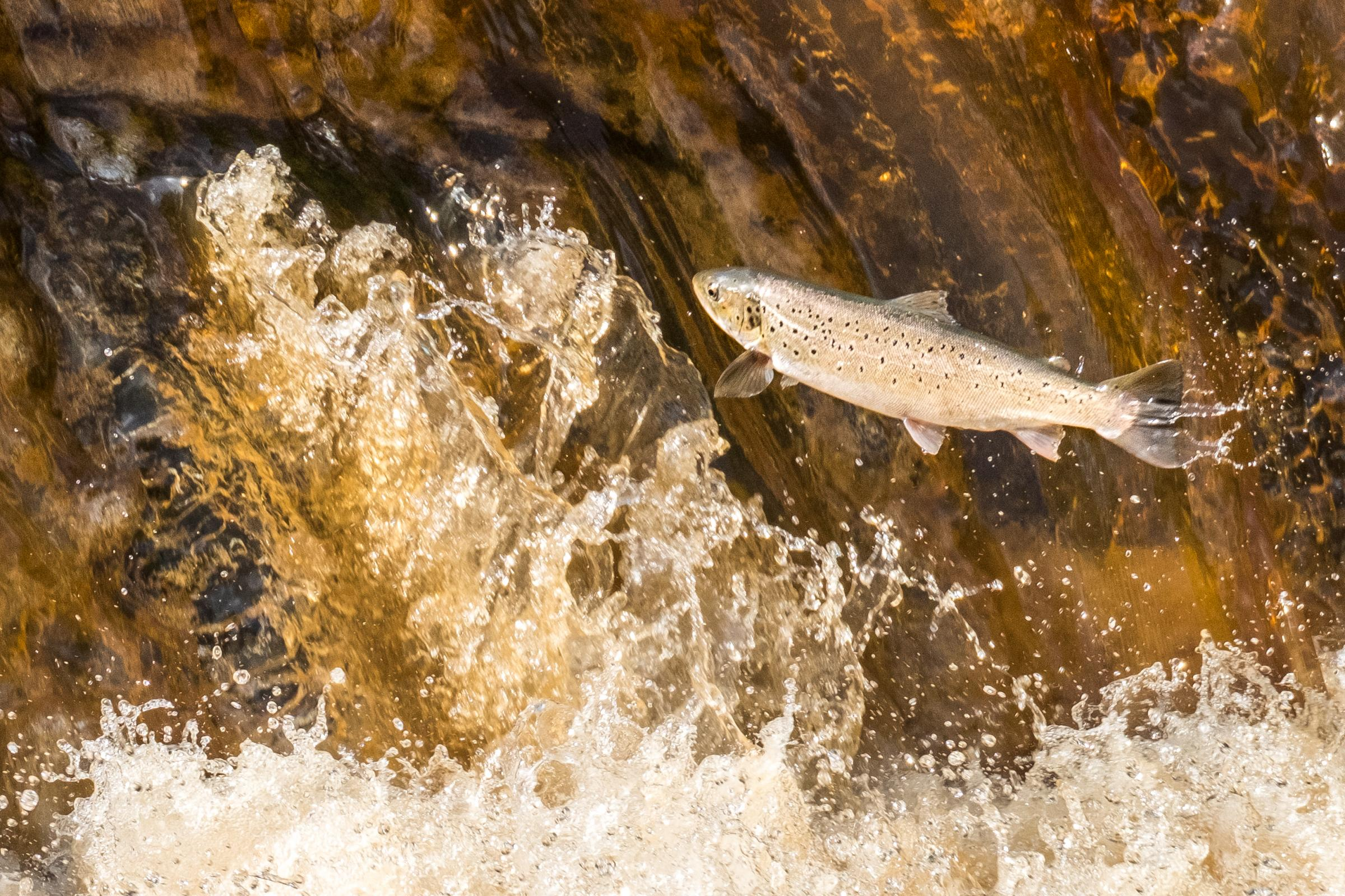 SPECTACULAR: A salmon leaps in the river at Sleights in a bid to return to its birthplace