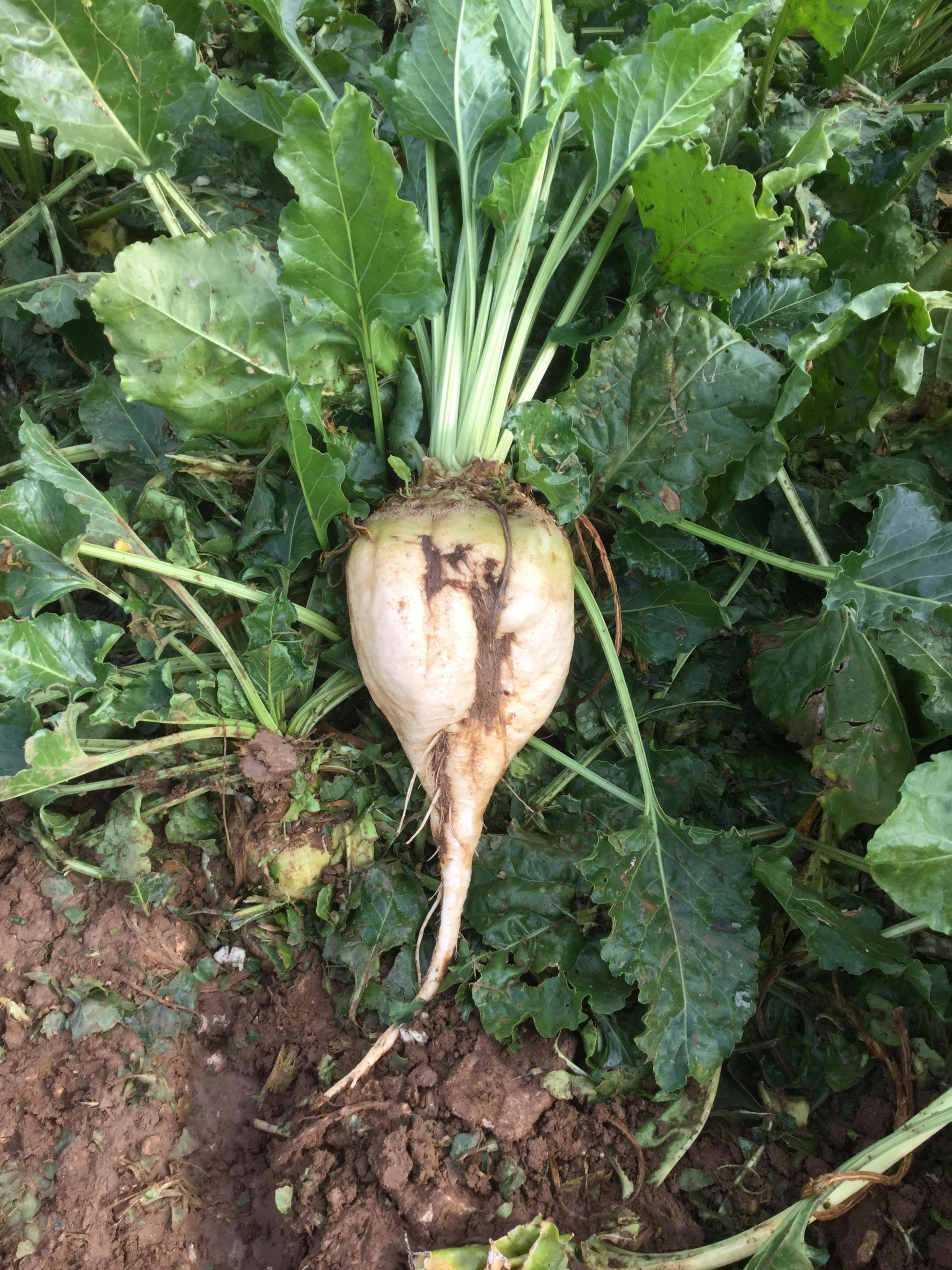 Top-performing fodder beet variety Brick is a white, smooth skinned variety that stores well. It is a deep-rooted variety and best lifted with a sugar beet harvester. Brick is rhizomania tolerant and is also ideal for anaerobic digestion.