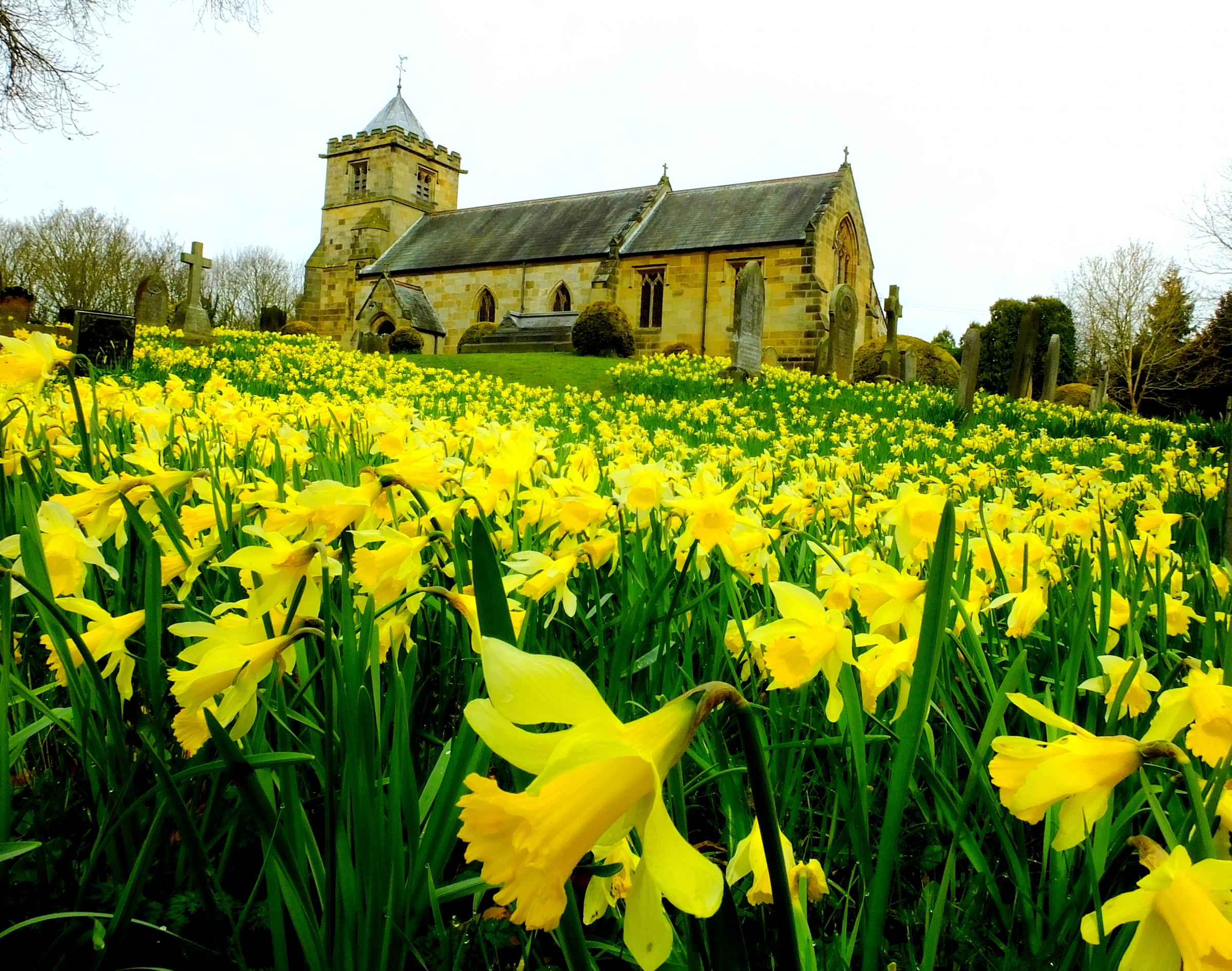 READER'S VIEW: Another idyllic image of spring - the daffodils in full bloom at All Saints Church, Crathorne, as pictured by Tim Dunn of Stokesley.
