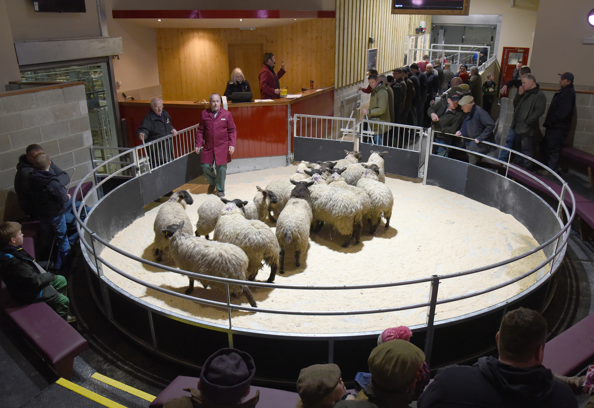 The new sheep ring in action at Skipton. Picture: Adrian Legge Photography.