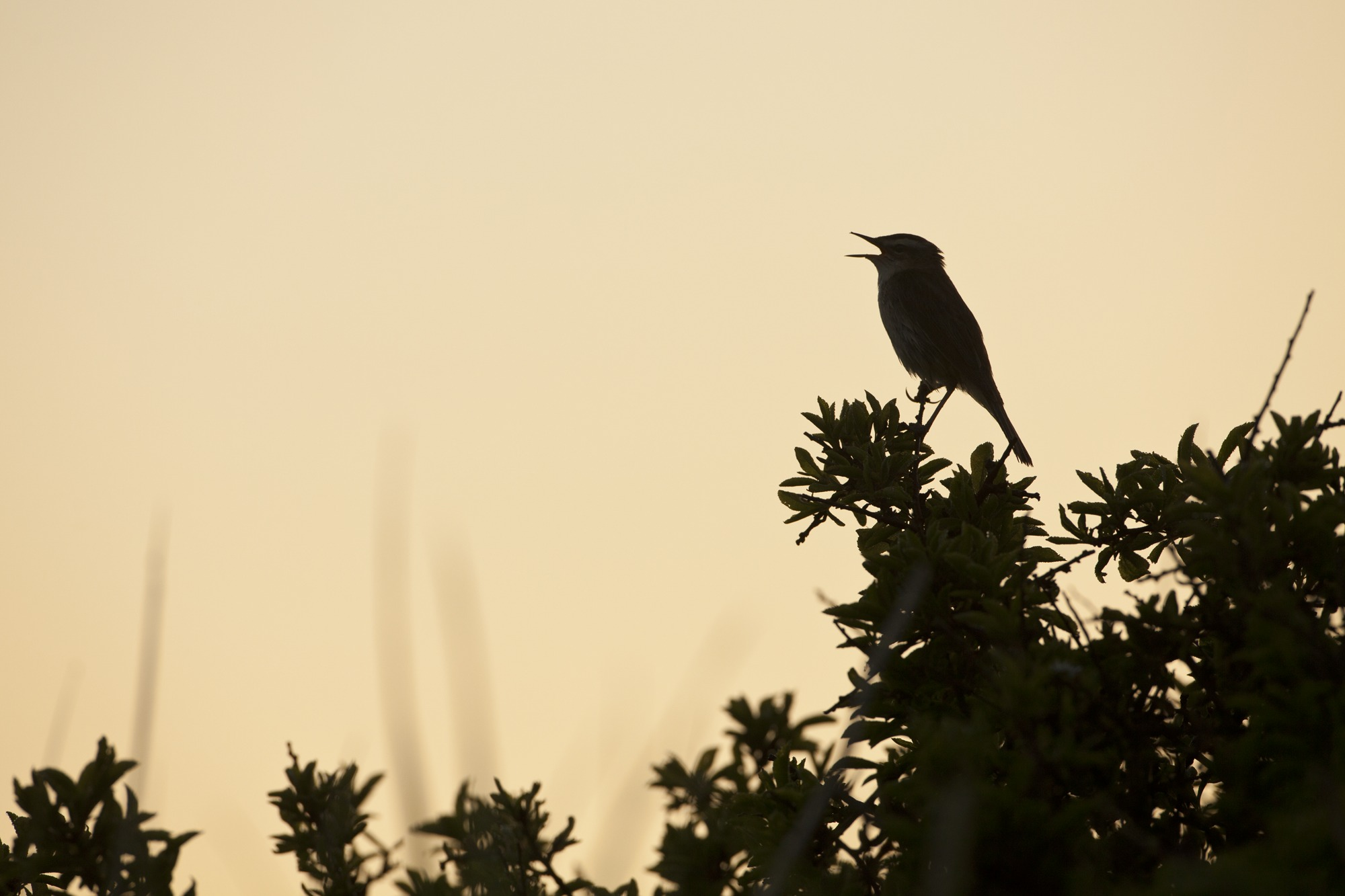 An ealry bird takes part in the dawn chorus by Mark Hamblin