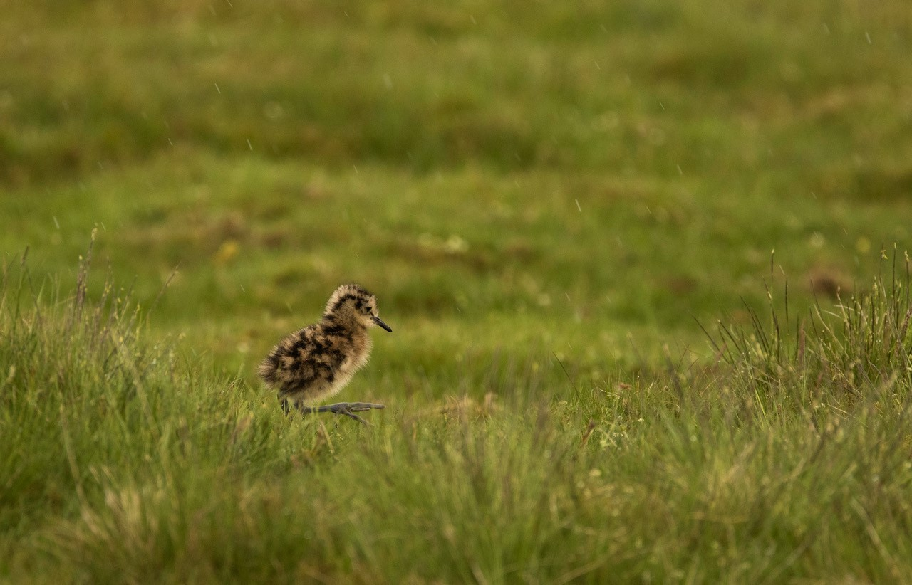 Curlew chick on a grouse moor