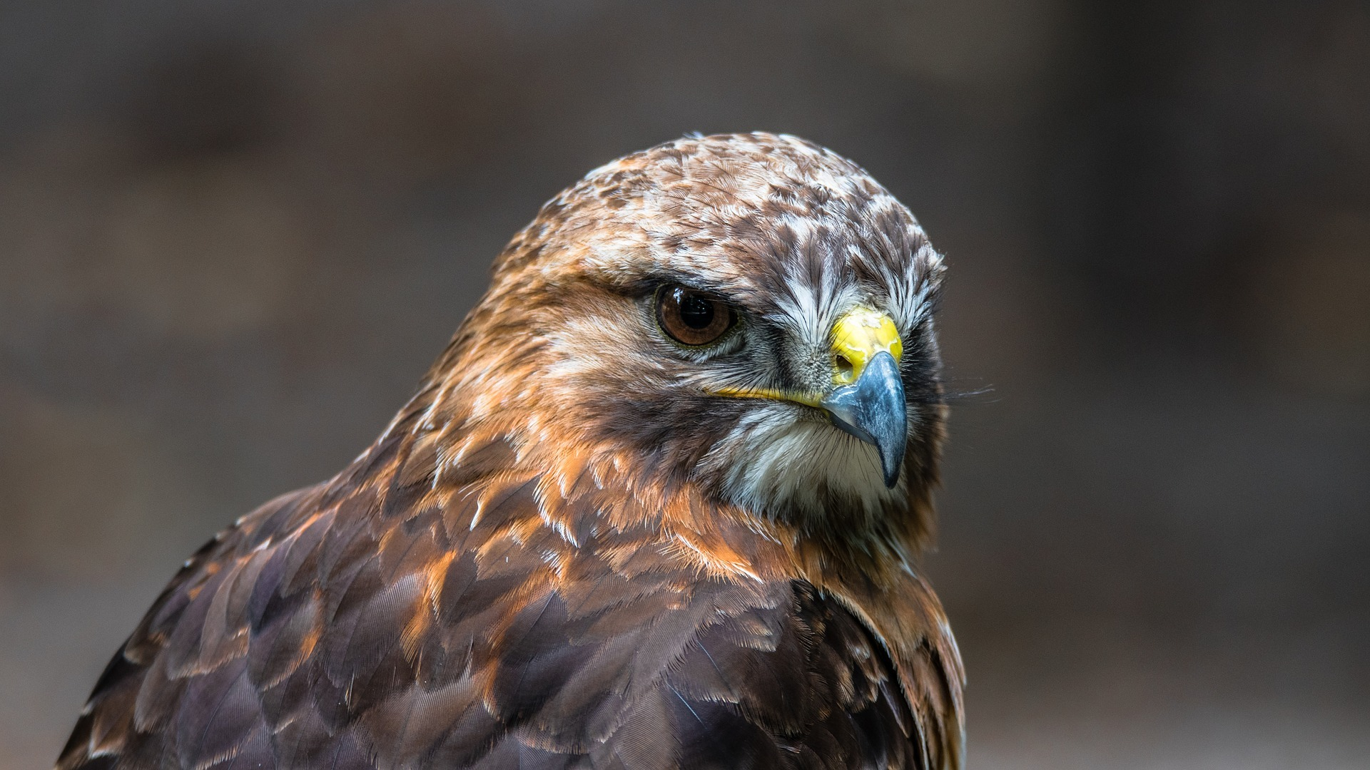 A buzzard found dead on top of a dry-stone wall in the North York Moors was poisoned, tests have shown. Picture: Pixabay.com