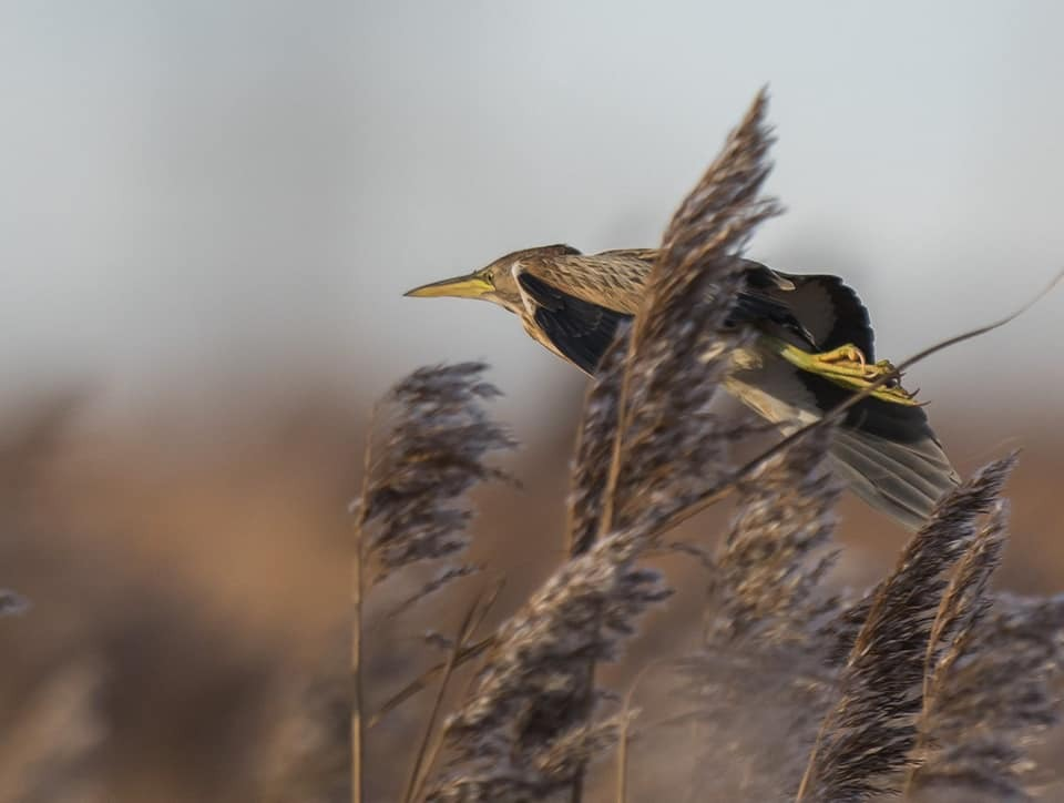 ONCE SHY: A little bittern has been spotted in a reedbed at RSPB Saltholme reserve, near Stockton																					  Picutre: JOHN BAXTER
