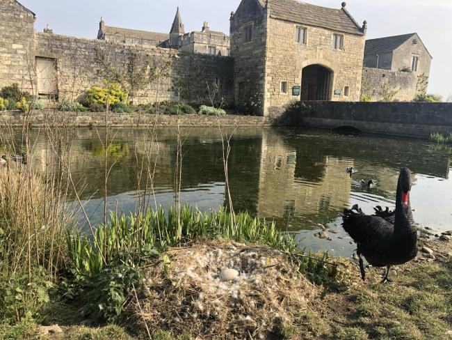 Sebastian the black swan stands with a solitary egg following the alleged theft of his mate, Sylvia, from the grounds of Markenfield Hall, near Ripon