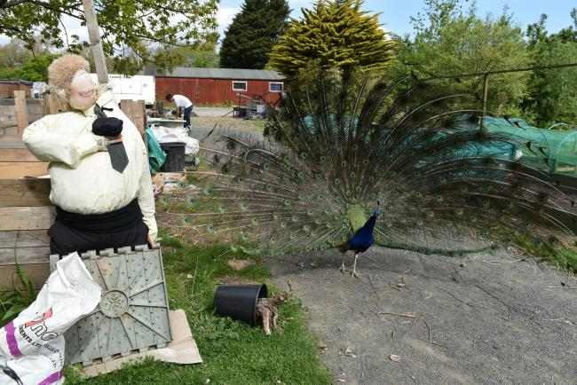 A peacock from Kirkleatham Museum & Grounds gets up close and personal with a scarecrow